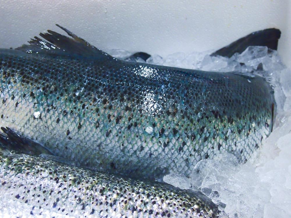 Fischmanufaktur Müritz Lachshaut