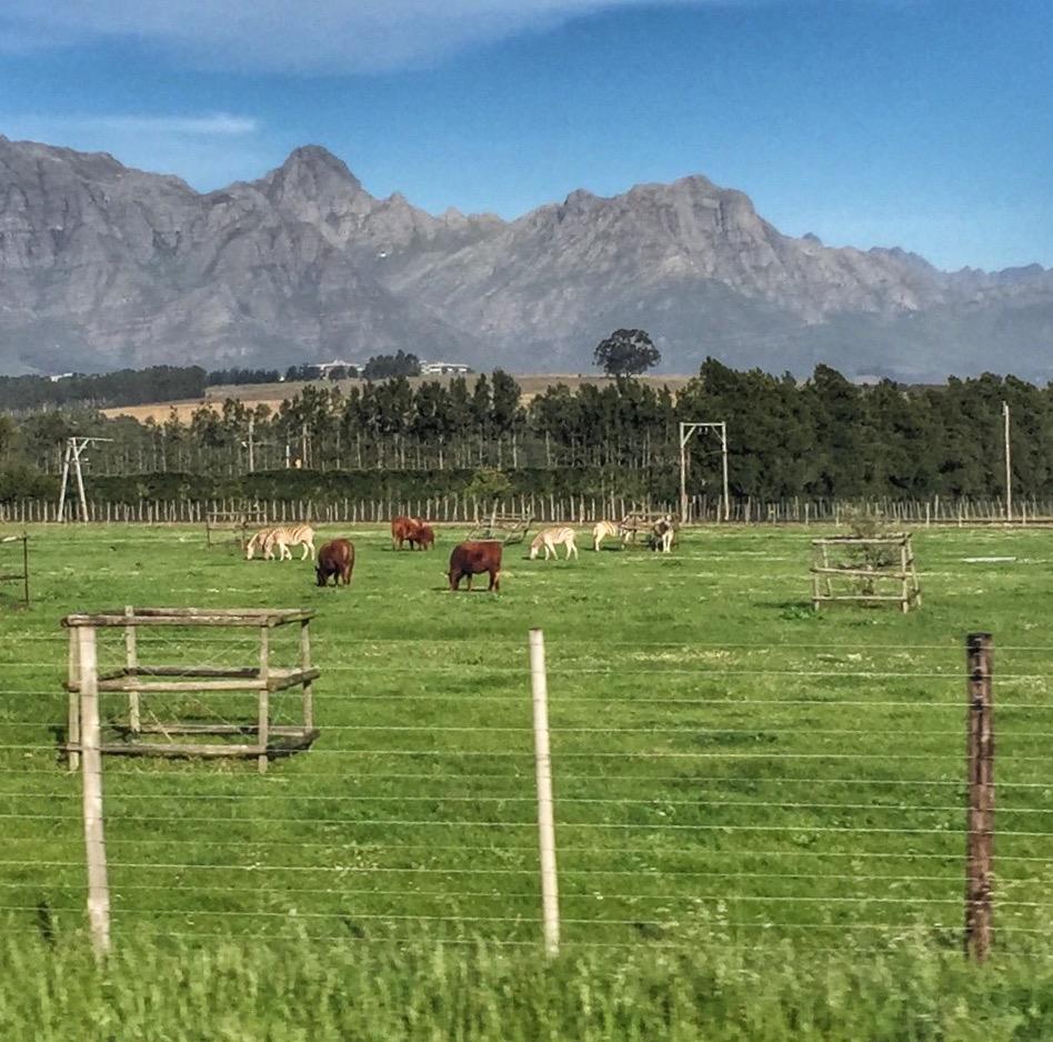 zebra-südafrika