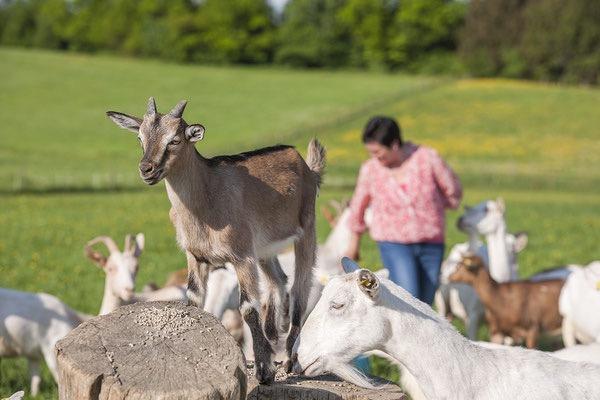 Die-Ziegen-vom-Attls-Bio-Ziegenhof-Familie-Obermaier